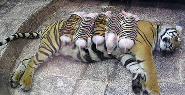 майка-тигрица-с-малки-прасенца