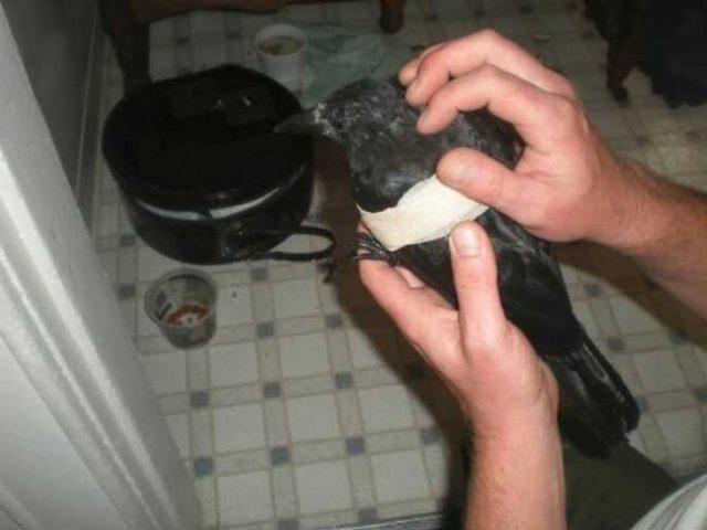 Цели-4-години-мъж-хранел-семейство-гарвани-и-веднъж-птиците-му-направили-необичаен-подарък