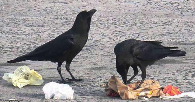 Във-френски-парк-обучили-врани-да-събират-боклука.-В-замяна-им-дават-храна