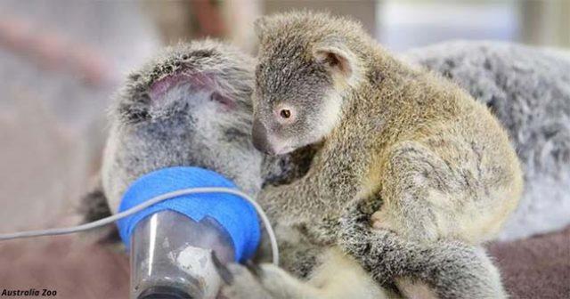 6-месечна коала не се отделила от майка си дори по време на операция