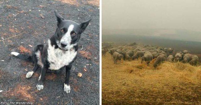Герой!-Куче-спасило-стадо-овце-от-бушуващите-пожари-в-Австралия